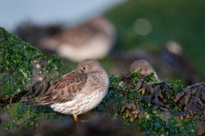 vogels nederlandse kust