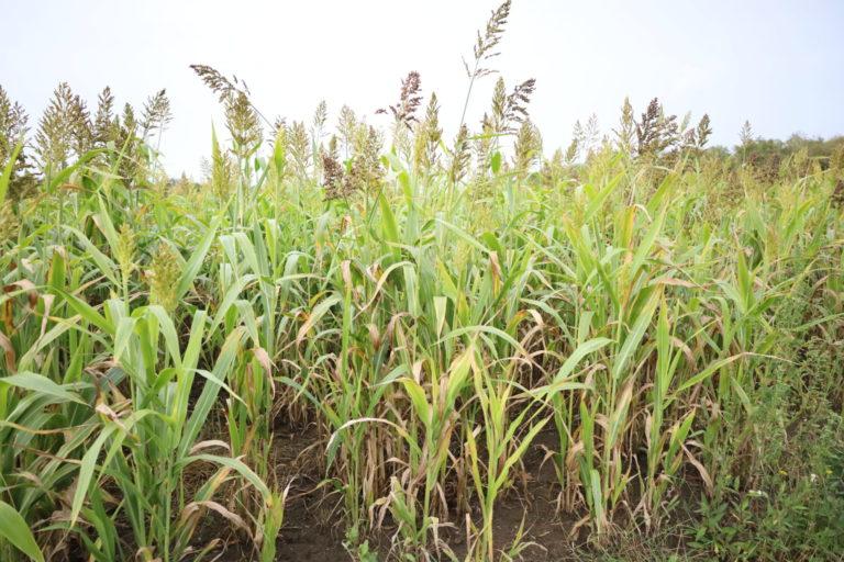 Sorghum lijkt op mais en heeft grote graanpluimen