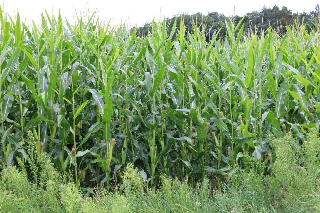 Stijve statige maisplanten